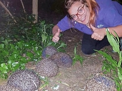 Hedgehogs back in the wild after GSPCA care