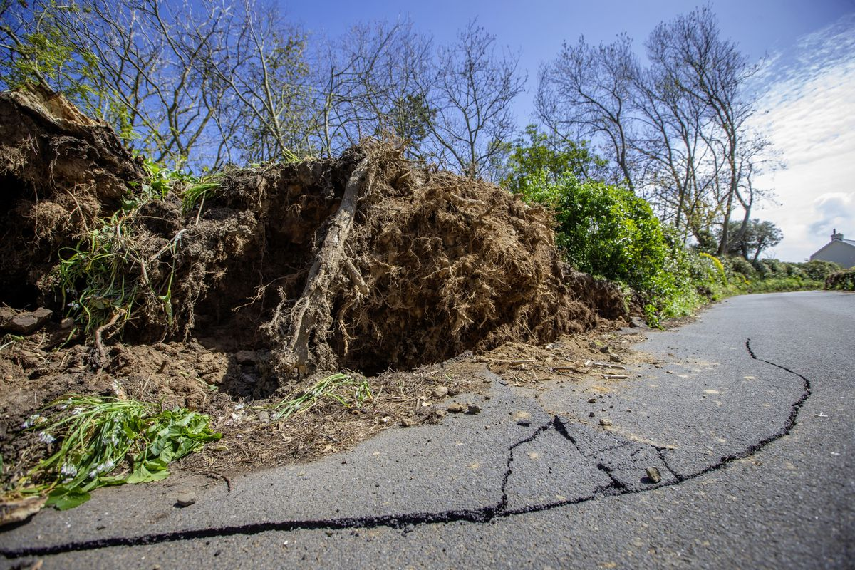 Two trees have been blown over at a property in Rue du Hamel, Castel. (Picture by Peter Frankland, 29509290)