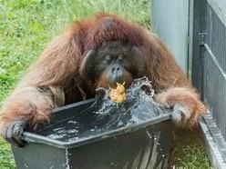 Orangutans fight the heat in Europe as temperatures soar
