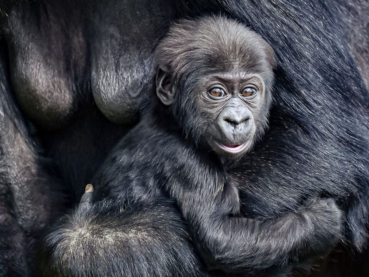 Baby gorilla pictured at Bristol Zoo Gardens ahead of site's reopening