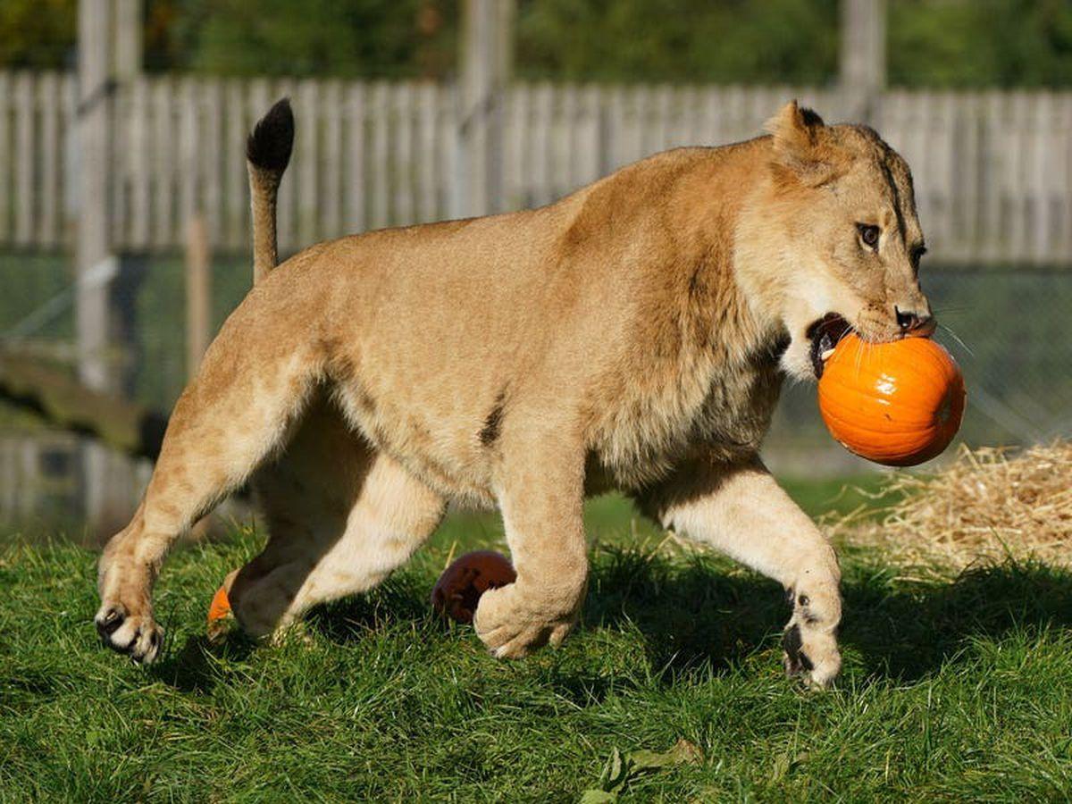 Lions play with pumpkins ahead of safari park's Halloween adventure launch