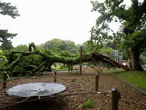 The split can be seen quite clearly in the oak which came down on Monday night. (Pictures by Cassidy Jones, 29683406)