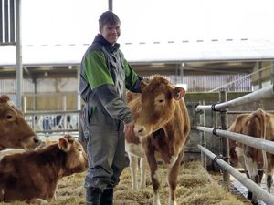 Student Jonathan Harris with the new pedigree herd of Guernsey cattle (29305387)