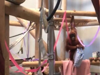 Denver Zoo threw a birthday party for an eight-year-old orangutan and it's adorable