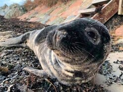 GSPCA seal pups in need of quality fish