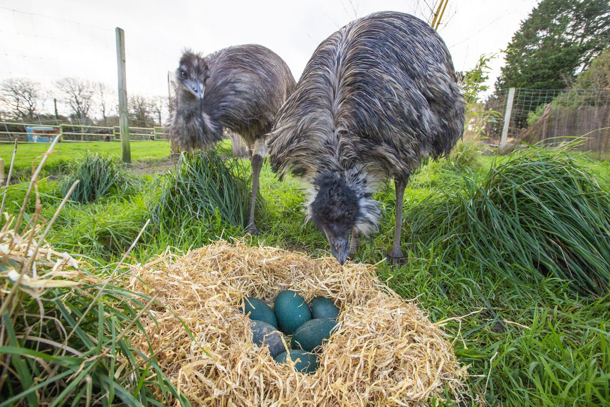 George and Mildred with the freshly-laid emu eggs at the Accidental Zoo. (Picture by Sophie Rabey, 29024923)