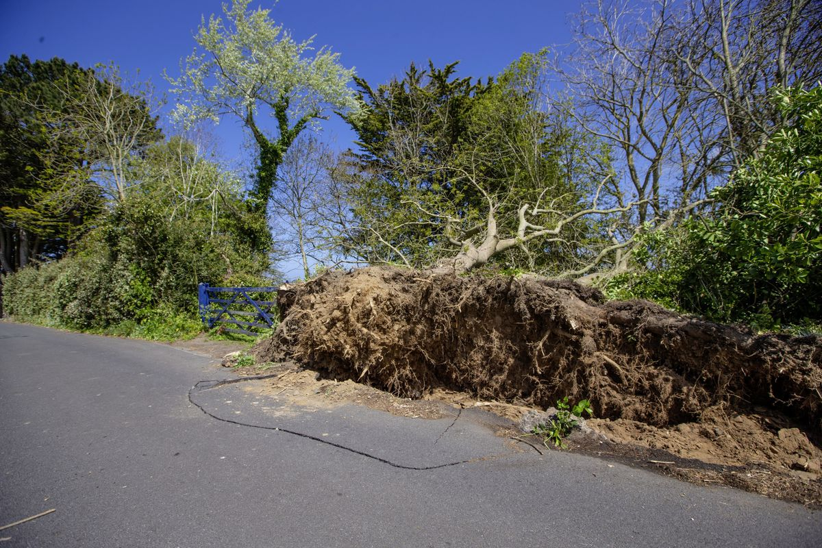 Two trees have been blown over at a property in Rue du Hamel, Castel. (Picture by Peter Frankland, 29509347)