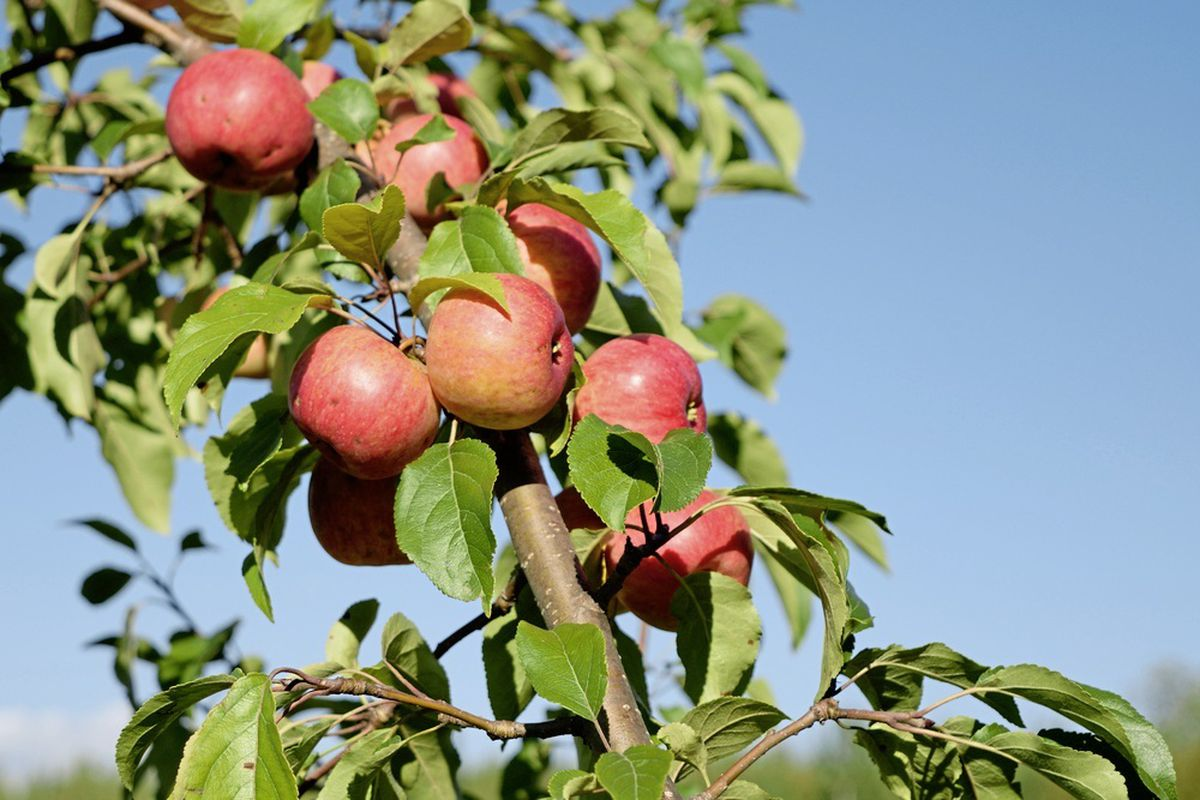 Fireblight plant disease has been confirmed in Guernsey. Islanders are encouraged to check their apple, pear and hawthorn trees. (28530188)