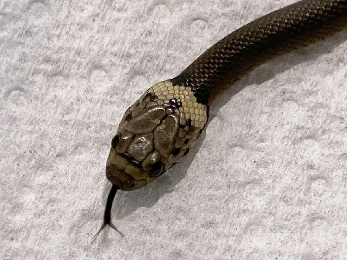 Sydney man finds snake in lettuce bought at supermarket