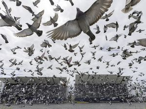Some racing pigeons from the Queen's loft were among 7,861 released by the National Flying Club at Pembroke on Saturday. The release was held here due to the change in the island's travel regulations and Brexit rules preventing races from France. (Pictures by Chris George Photography)