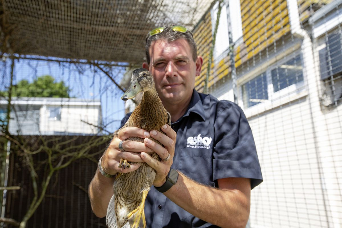 GSPCA manager Steve Bryne holding a scoter duck, a rare breed that has recently been taken in by the animal shelter. (Picture by Cassidy Jones, 29786775)
