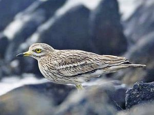 Alderney had its first record of a rare migrating visitor on 2 April - a stone curlew, which winter in southwest Europe and North Africa before travelling to southen England or East Anglia. Image by Chris Bale. (29429458)