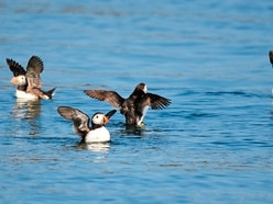 Slight increase in number of puffins in Alderney