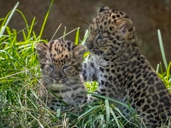 Cubs of rarest big cat species born at San Diego Zoo