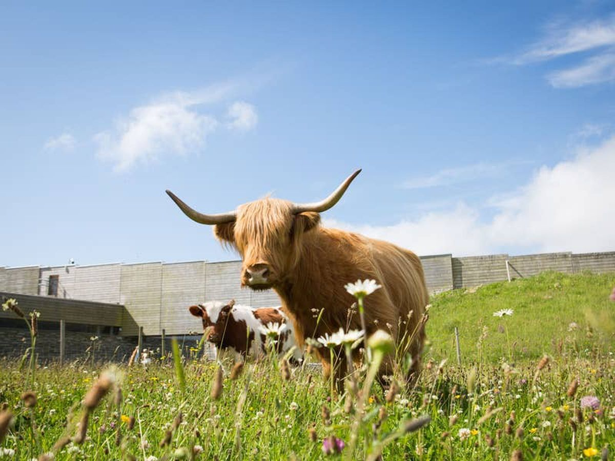 Grazing cows join animals helping to preserve Culloden battlefield