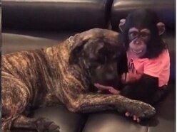 A dog and a chimpanzee at a wildlife sanctuary have become best mates