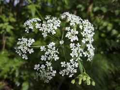 Cow parsley alert on cliffs