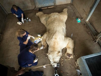 Pollen allergy test for Victor the polar bear