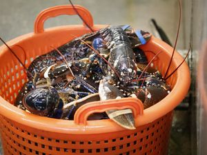 Researchers solve the mystery of ageing lobsters