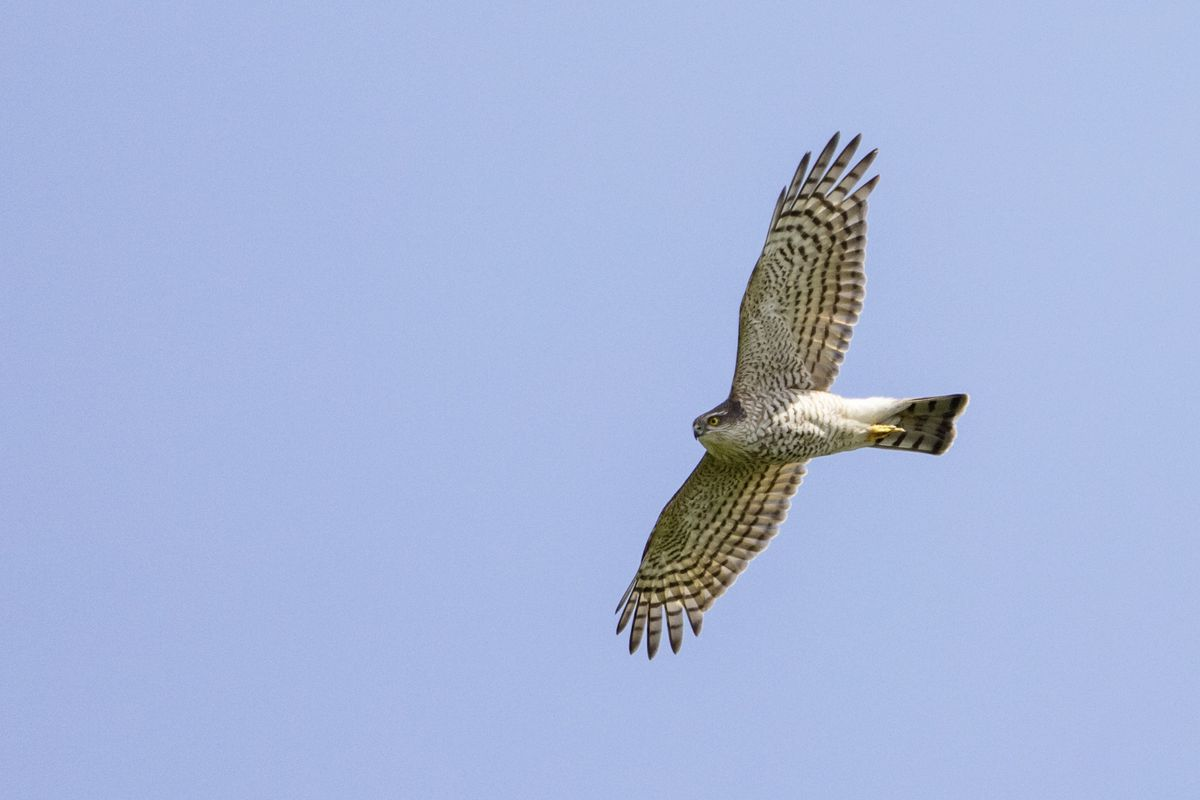 Sparrowhawk. (Picture by Andy Marquis) (28666042)