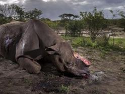 'Tragic' black rhino image wins photojournalist top prize