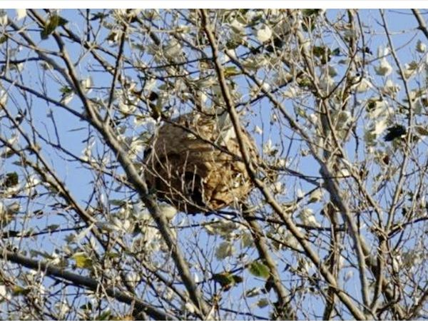 An Asian Hornet nest was found in tree in a garden on Rue du Closel, Vale last week. It was removed on Friday. (Submitted photo)