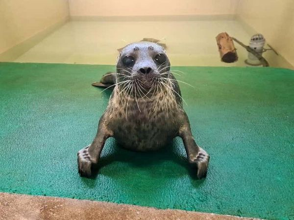 Rare seal released back into wild after recovering from injuries