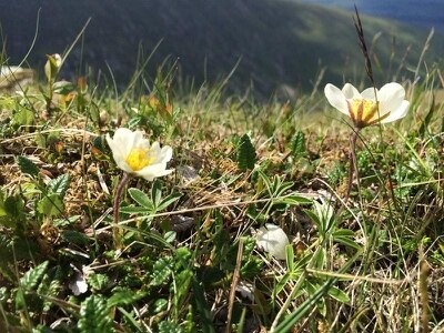 'Precarious populations' of Lake District flower boosted by seeds from Highlands