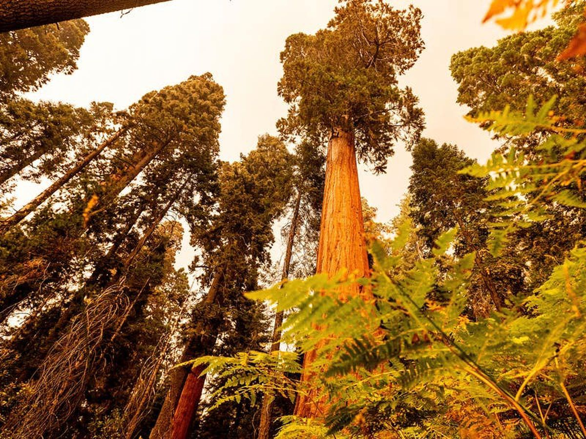 Famous giant trees unharmed by Sequoia National Park fire