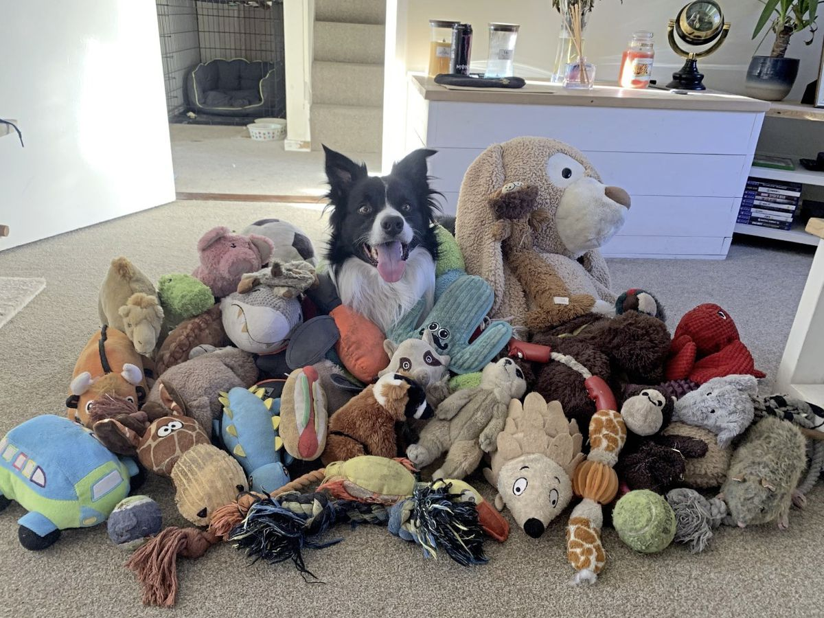 Bear the border collie with his toys, which he is able to pick up after each is asked for by name. (Picture by Sophie Goss)