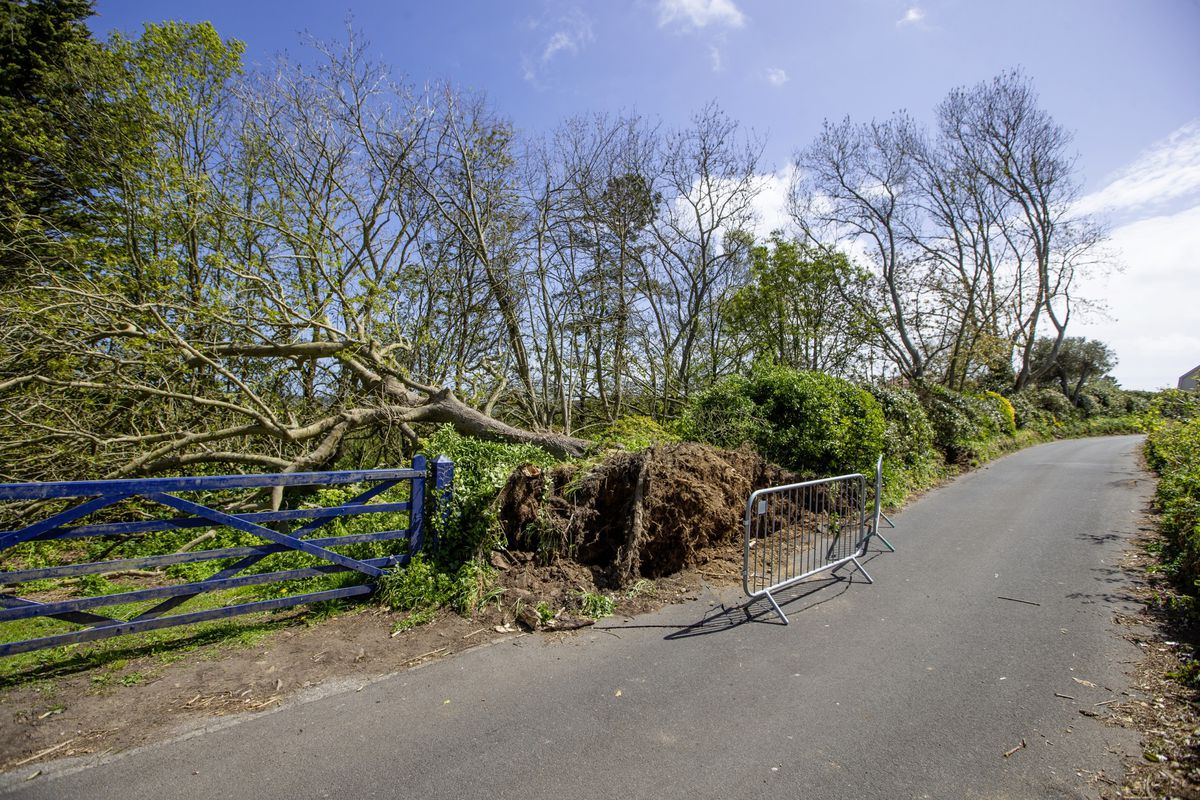 Two trees have been blown over at a property in Rue du Hamel, Castel. (Picture by Peter Frankland, 29509329)
