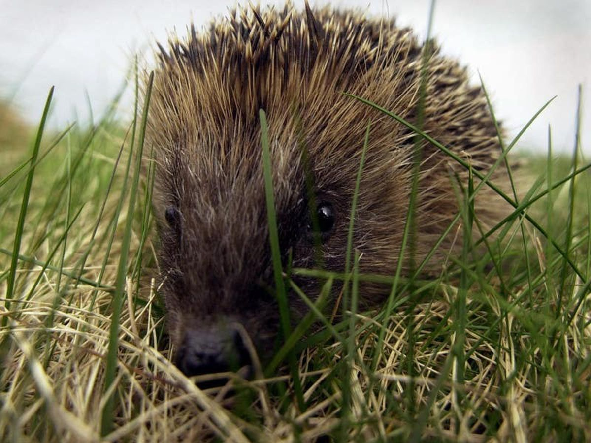 Help preserve hedgehog numbers by boosting legal protection, Tory MPs urge
