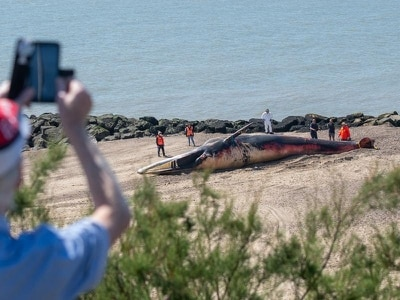Carcass of 40ft whale being removed from Essex beach