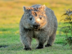Orphaned wombat joey at Sydney Zoo hand-raised by keepers