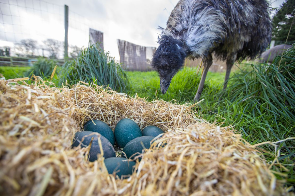 Emu eggs have been laid at the Accidental Zoo. (Picture by Sophie Rabey, 29024922)