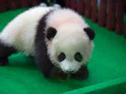 Baby panda born in Malaysia zoo makes media appearance