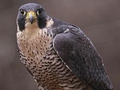 Falcons poisoning reward now £11,500