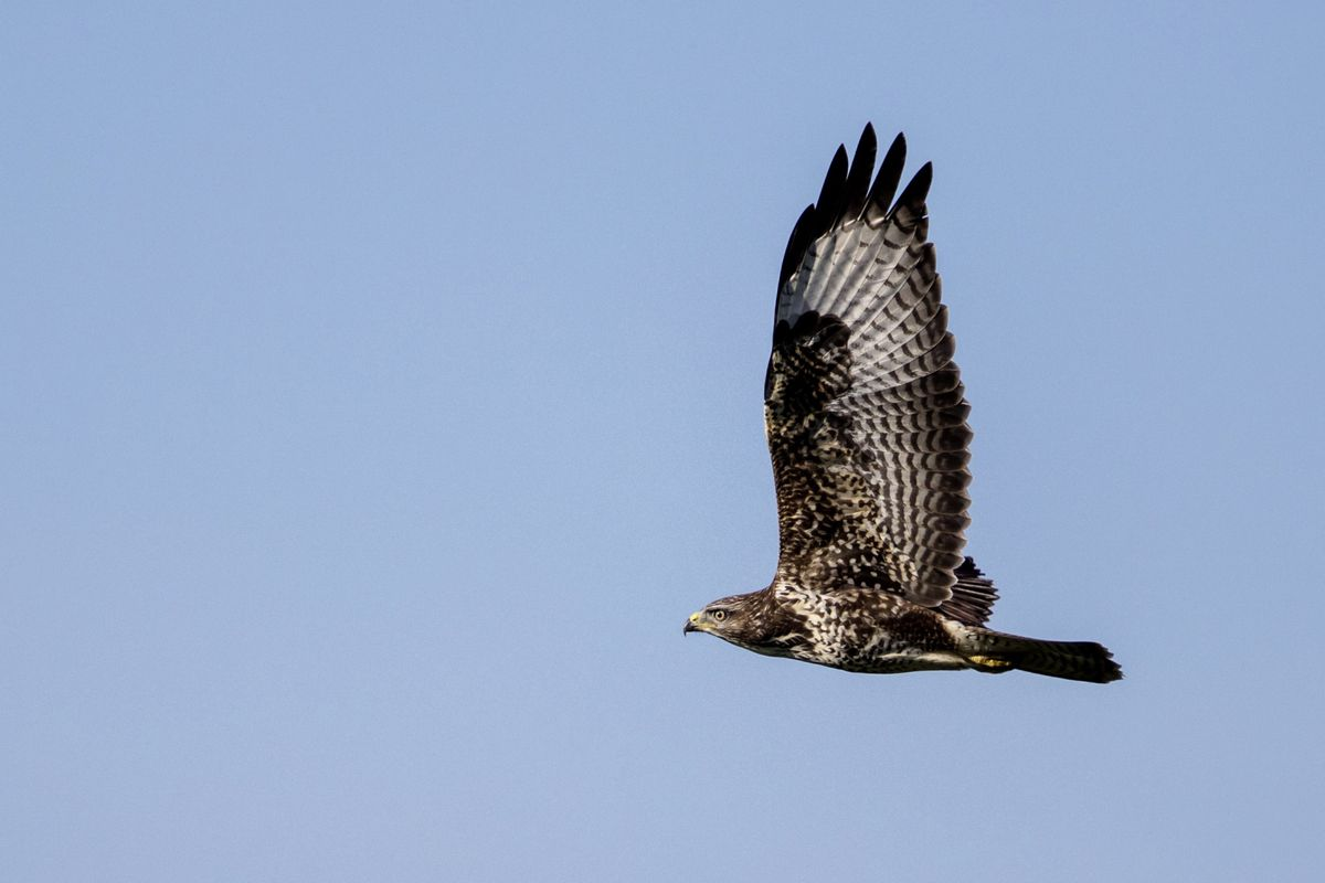 Buzzard. (Picture by Andy Marquis) (28666032)
