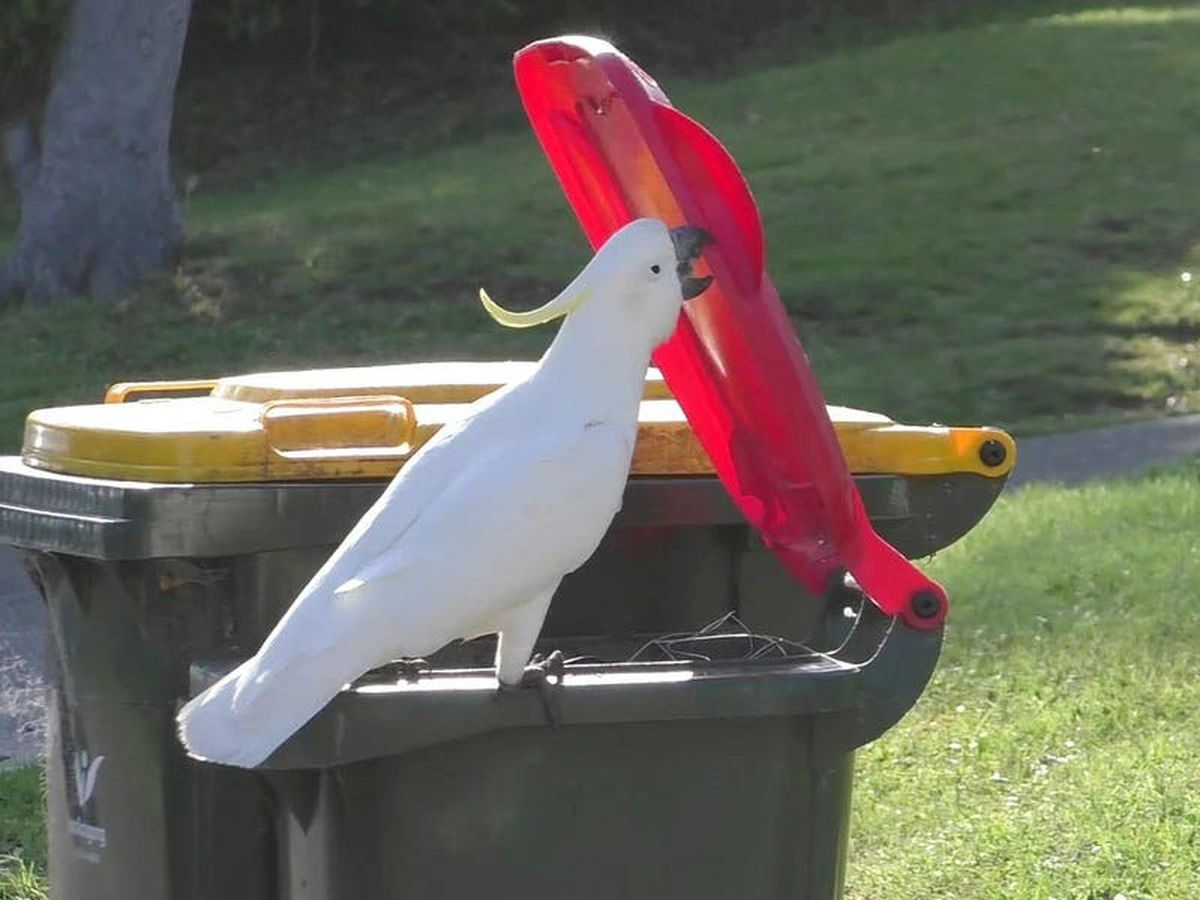 Crafty cockatoos master bin-diving moves – and teach them to peers