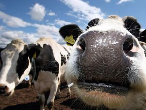 Case of infection known as mad cow disease confirmed on Somerset farm