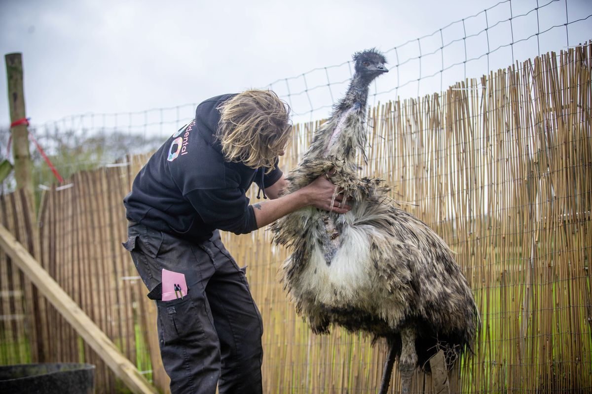 Ryan Guilcher of The Accidental Zoo inspecting George the emu's injuries after fireworks spooked him. (Picture by Peter Frankland, 28900907)