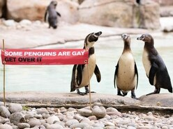 Same-sex penguin couples celebrate Pride at London Zoo