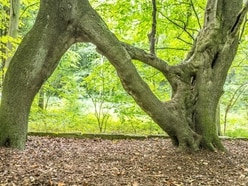 'N' shaped tree created to woo a sweetheart called Nellie wins tree poll