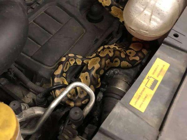 Mechanic finds python under car bonnet during MOT