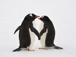 Sea Life Sydney's same-sex penguin couple have been given an egg to incubate