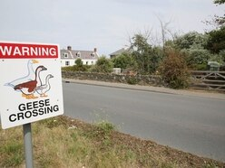 Nothing poultry about sign warning of geese crossing