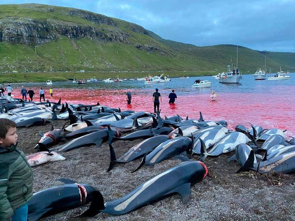 Faroese salmon exporter joins condemnation over dolphin hunt