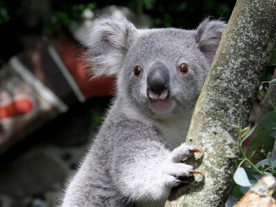 Koala genome reveals secret of eucalyptus diet