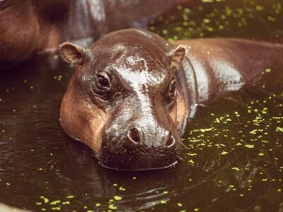 Watch a baby pygmy hippo embody #MondayMotivation by scampering over a high step