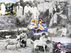 Picture by Sophie Rabey.  10-12-19.  Carolyn Drewitt talks about Miriam Milbourne and her keeping of Guernsey Goats.  Collage of old pictures of both Carolyn and Miriam through the years. (26630638)